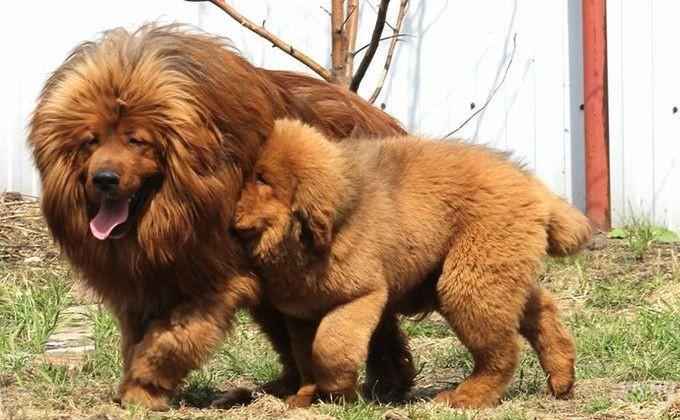 Символ 2018 года: тибетские мастифы - самые желтые собаки